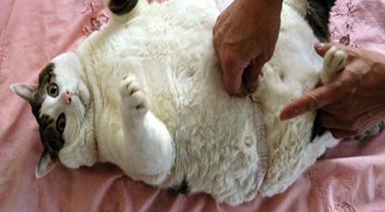 Diet Makanan Bagi Kucing Obesiti
